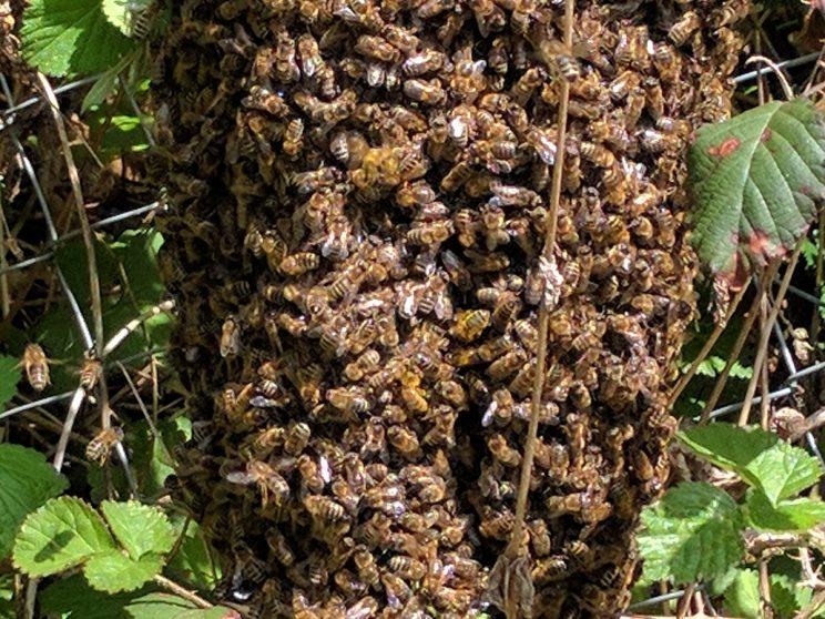 Bienenscwarm aus Volk braun