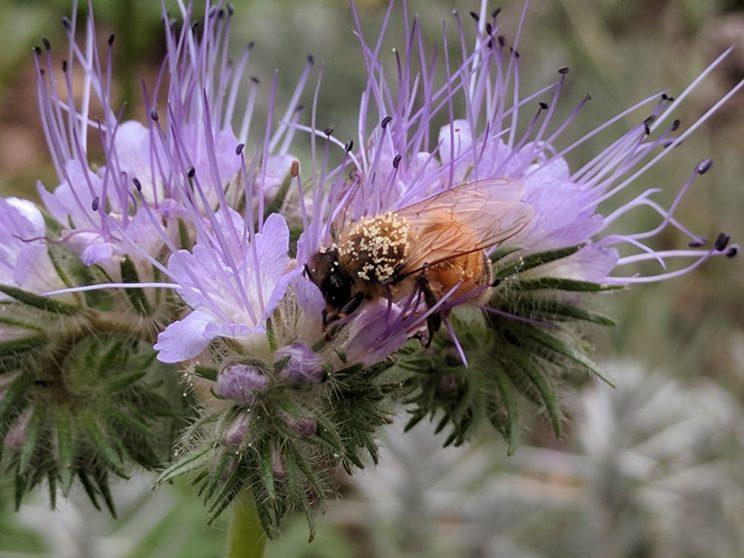 Biene auf Phaceliablüte: Trachtangebot verbessern gehört auch zur Betriebsweise