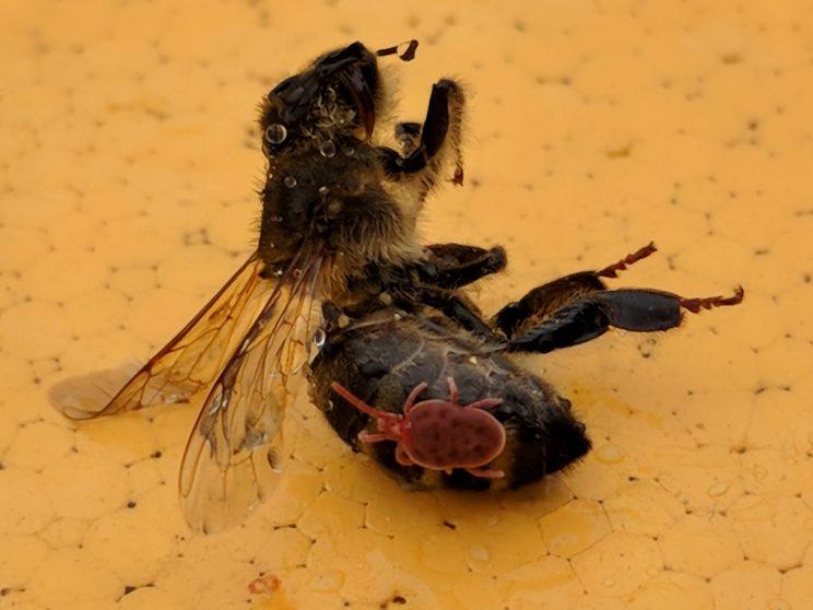 Eine Samtmilbe tut sich an einer toten Biene gütlich