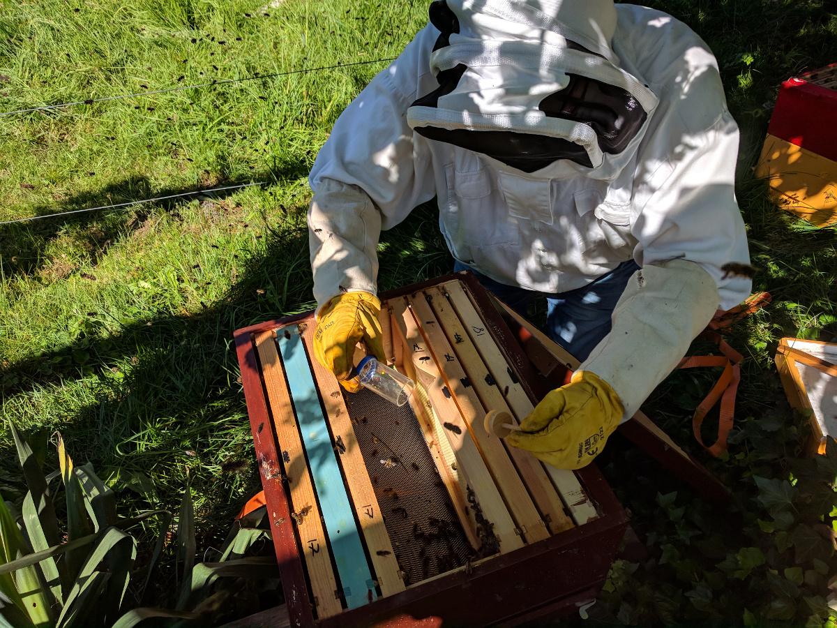 Volk LS Limette: Frisch gezeichnete Königin wird den Bienen wieder zugesetzt.
