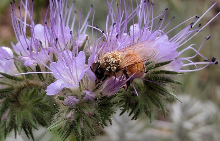 Biene auf Phaceliablüte