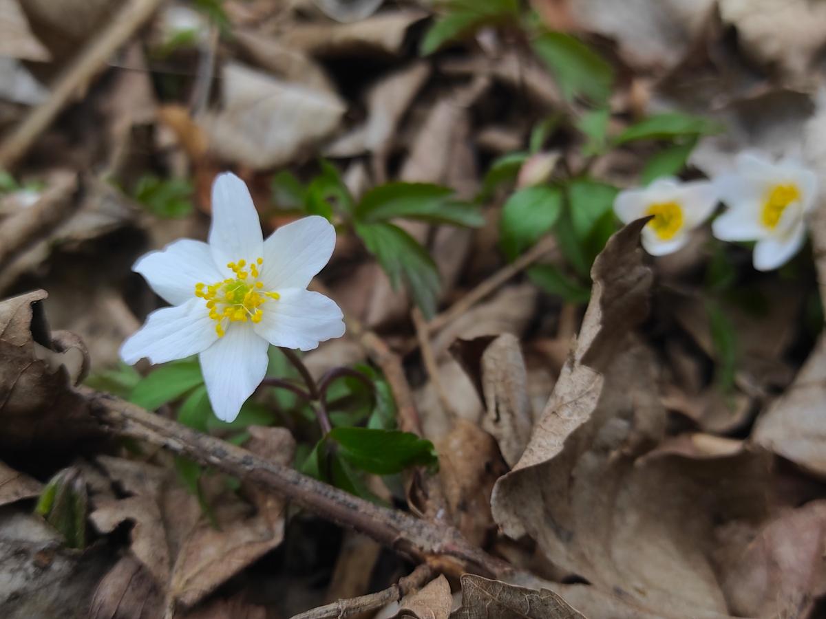 Buschwindröschen (Anemone nemorosa): Nektar 0/4, Pollen 3/4