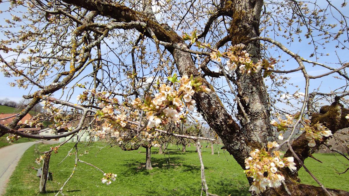 Durch die kalte Witterung geschädigte Kirschblüte.