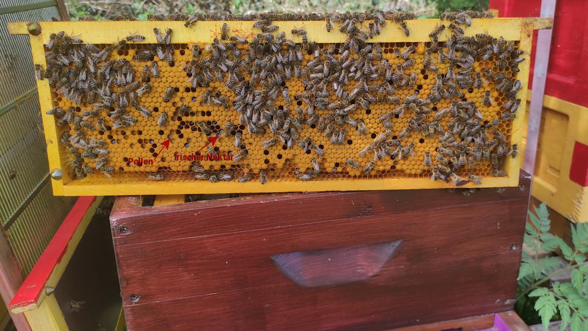 Volk LS Violett: Auf der Brutwabe gut zu sehen ist der eingelagerte Pollen und die Zwischenlagerung des frischen Nektars.